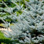 Picea pungens 'Super Blue Seedling' - Kerstboom - Blauwspar