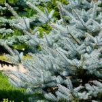 Picea pungens 'Super Blue Seedling' - Kerstboom - Blauwspar - Picea pungens 'Super Blue Seedling'