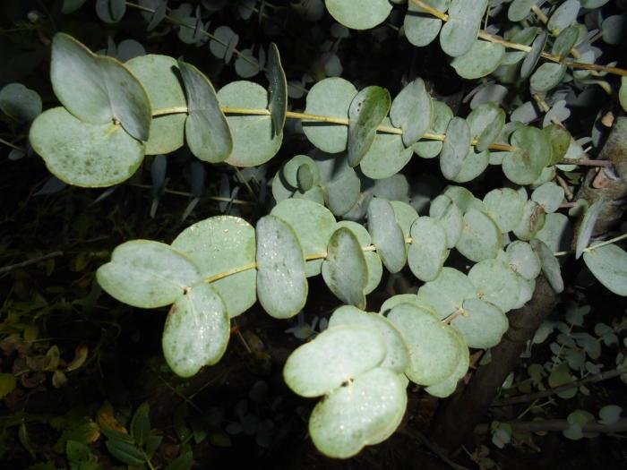 koortsboom eucalyptus gunnii 39 azura 39 planten online kopen. Black Bedroom Furniture Sets. Home Design Ideas