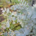 Eucalyptus gunnii 'Azura' - Eucalyptus gunnii 'Azura' - Koortsboom