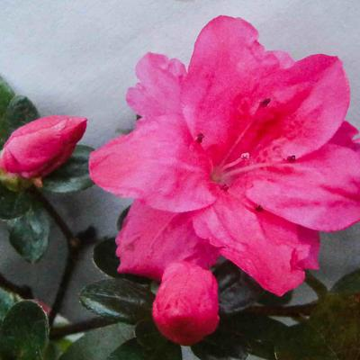 Rhododendron molle subsp. japonicum (rood) - Japanse azalea - Rhododendron molle subsp. japonicum (rood)