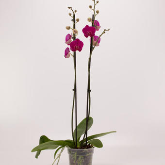 Phalaenopsis 'Attraction'