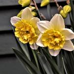 Narcissus 'Full House' - Dubbele narcis