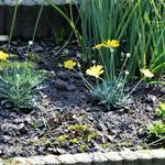 Argyranthemum frutescens - Argyranthemum frutescens - Margriet