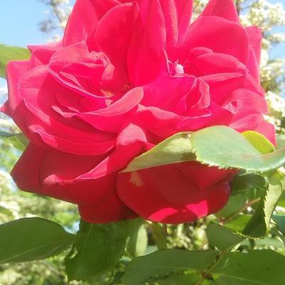 Rosa 'Mona Lisa' -