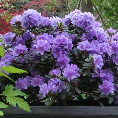 Rhododendron 'Ramapo' - Rododendron