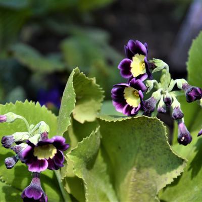 Primula x pubescens -