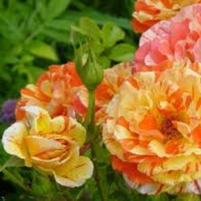 Rosa 'Oranges 'n' Lemons' -
