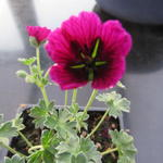 Geranium cinereum 'Jolly Jewel Purple' - Ooievaarsbek