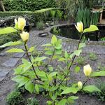 Magnolia denudata 'Yellow River' - Beverboom - Magnolia denudata 'Yellow River'