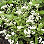 Myosotis palustris  'Alba' - Myosotis palustris  'Alba' - Moeras vergeet-mij-niet