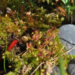 Drosera aliciae - Drosera aliciae - Zonnedauw, Herfstschelpdauw, vleesetende plant