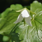 Trillium flexipes - Trillium flexipes - Drieblad/Boslelie