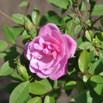 Rosa 'Pompon de Paris' -