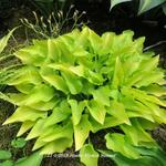 Hosta 'Hydon Sunset' - Hartlelie/Funkia