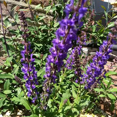 Salvia nemorosa JS 'A Little Bit' -
