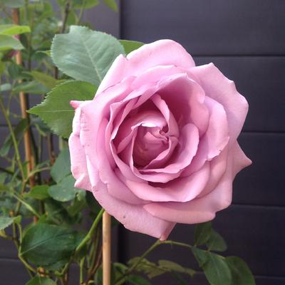 Rosa 'Sandra Renaissance' -