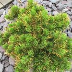 Pinus mugo 'Winter Gold' - Bergden - Pinus mugo 'Winter Gold'
