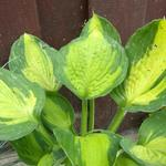 Hosta 'Captain Kirk' - Hartlelie/Funkia