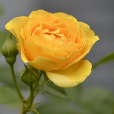 Rosa 'Julia Child' -