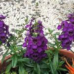 Angelonia angustifolia 'ARCHANGEL Dark Purple' - Zomerleeuwenbek