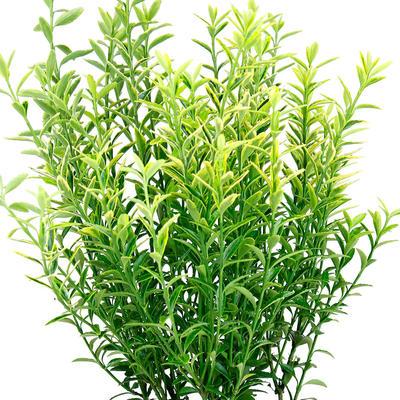 Euonymus japonicus 'Microphyllus Pulchellus' -
