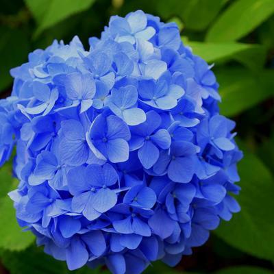 Hydrangea macrophylla (blauw) -