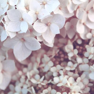 Hydrangea macrophylla (Wit) -