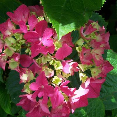 Hydrangea macrophylla (Rood) -