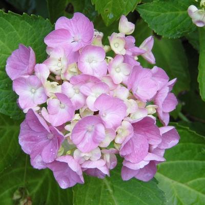 Hydrangea macrophylla (Roze) -
