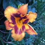 Hemerocallis 'Raging Tiger' - Daglelie