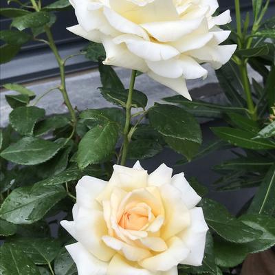 Rosa 'Anastasia' -