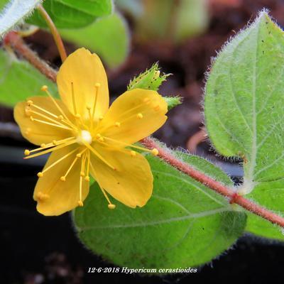 Hypericum cerastioides -
