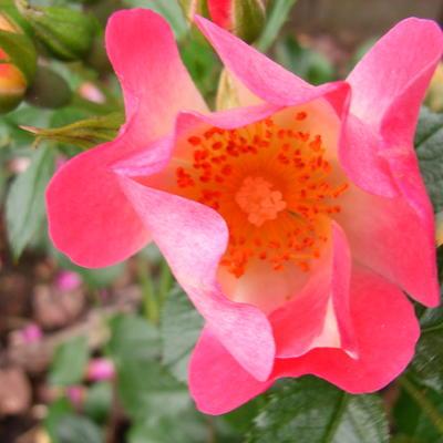 Rosa 'Bienenweide Apricot' -