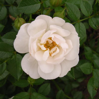 Rosa 'Bienenweide Weiss' -
