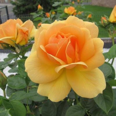 Rosa 'Lampion' -