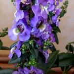 Angelonia angustifolia 'ANGELMIST Lavender Stripe' - Angelonia angustifolia 'ANGELMIST Lavender Stripe' - Angelonia