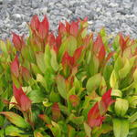 Leucothoe 'Little Flames' - Leucothoe 'Little Flames' - Druifheide