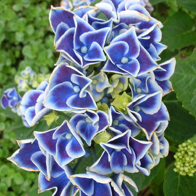 Hydrangea macrophylla 'Tivoli' -