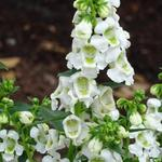Angelonia angustifolia 'SERENA White' - Angelonia angustifolia 'SERENA White' - Zomerleeuwenbek