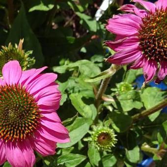 Echinacea 'MOOODZ In Love'