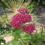 Duizendblad - Achillea millefolium 'Cerise Queen'