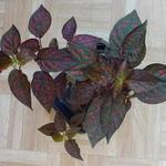 Hypoestes phyllostachya - Hypoestes phyllostachya - Polka-Dot plant