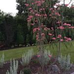 Albizia julibrissin 'Tropical Dream' - Albizia julibrissin 'Tropical Dream' - Perzische slaapboom