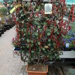 glansmispel photinia x fraseri 39 carr rouge 39 haagplanten planten online kopen tuinadvies. Black Bedroom Furniture Sets. Home Design Ideas