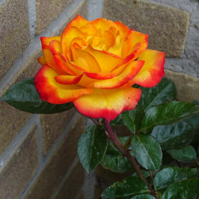 Rosa 'Twister Select' - Roos