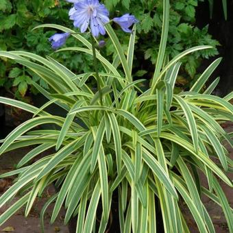Agapanthus 'Golden Drops'