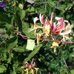 Lonicera japonica 'Red World' - Japanse kamperfoelie