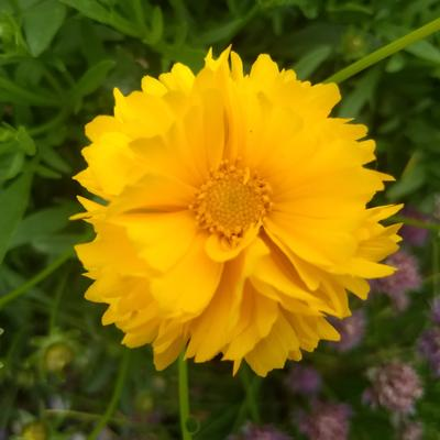 Coreopsis grandiflora 'Badengold' -