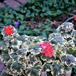 Pelargonium 'Ray Bidwell' -